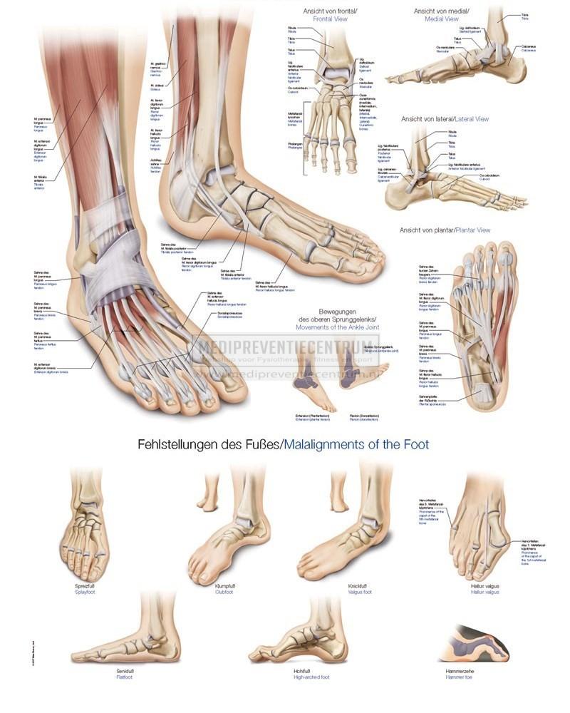 Anatomie van de voet - Mijn website